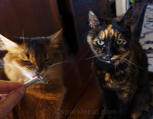 somali cat enjoying Festivus Catnip and tortoiseshell cat looking annoyed