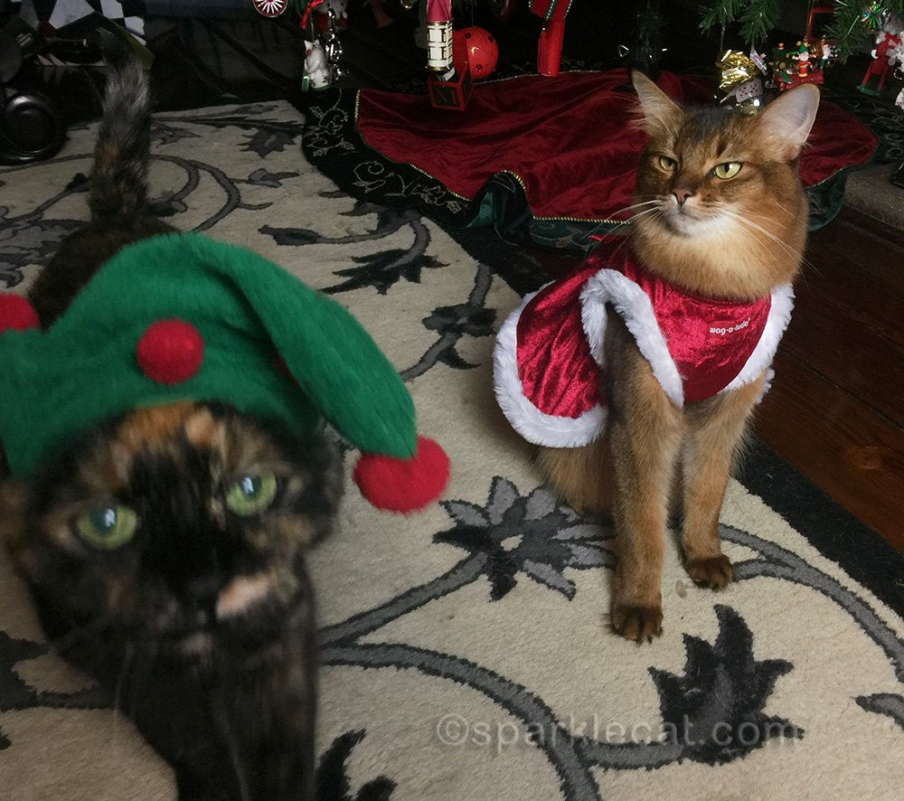 somali cat looking at tortoiseshell cat in elf hat