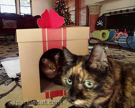 somali cat, tortoiseshell cat, gift box scratcher