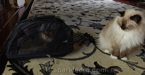 somali cat trying on Sherpa pet carrier for size