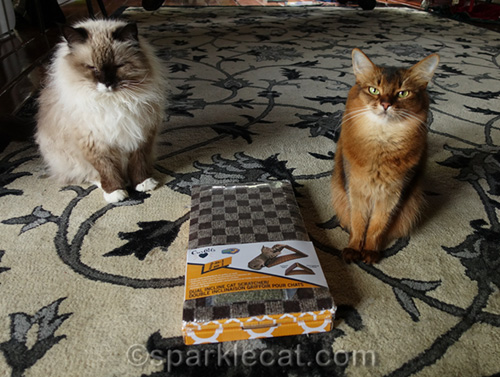 Ragdoll cat and Somali cat with new toy