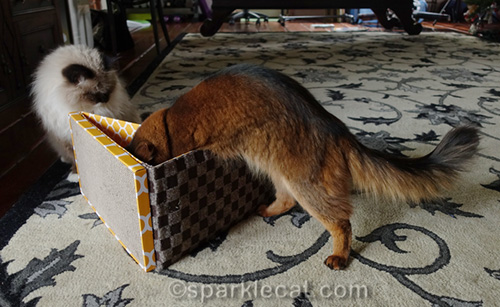 somali cat examining new scratcher toy