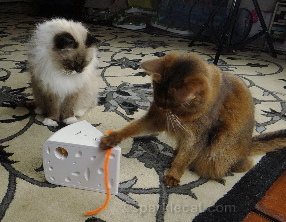 somali cat and ragdoll mix with mechanical cheese toy
