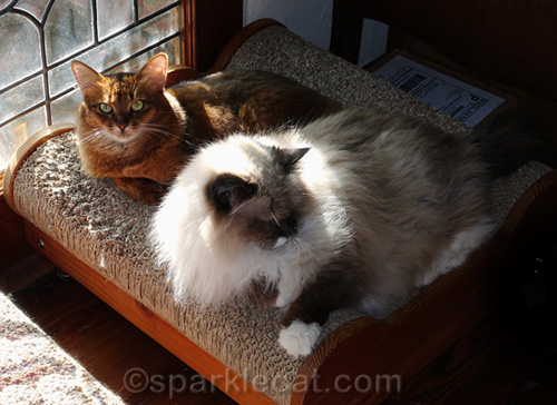 somali cat and ragdoll cat on lounger