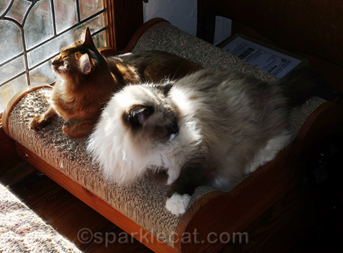 somali cat and Radoll cat sunning on lounger