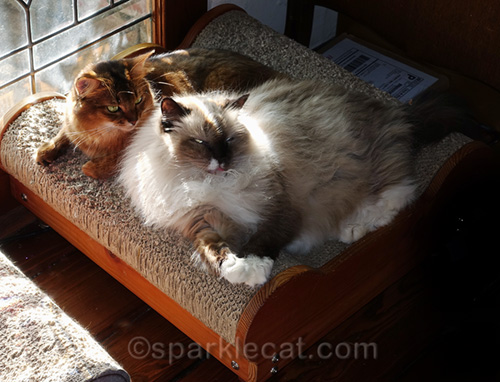 weird photo of somali cat and ragdoll cat on lounger