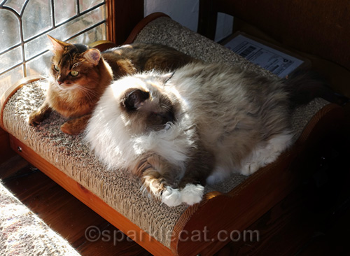 somali cat is dubious about ragdoll cat