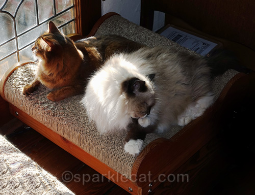 somali cat looking outside while ragdoll cat grooms paw