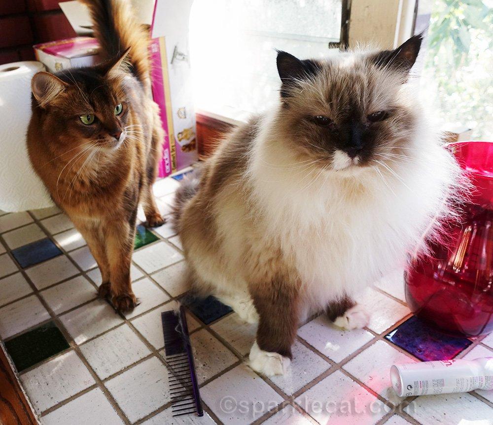 somali cat looking at ragdoll cat's groom