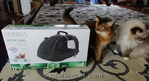somali cat looking at new carrier in box with ragdoll cat