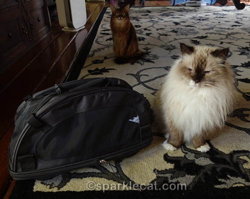 somali cat watches ragdoll cat with new carrier