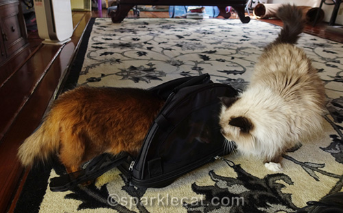 somali cat explores inside of new Sherpa pet carrier