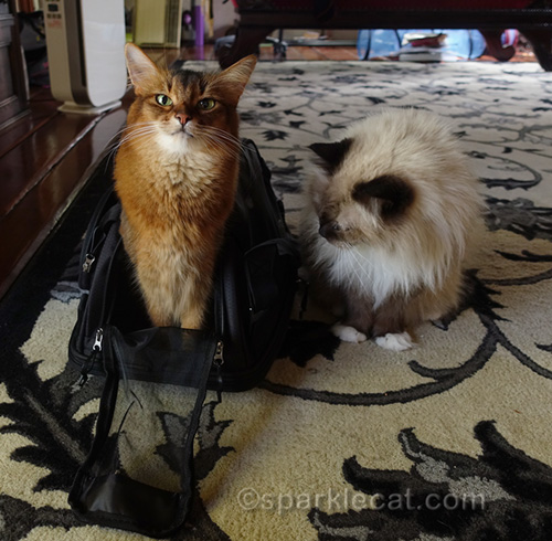somali cat in Sherpa carrier with ragdoll cat looking on