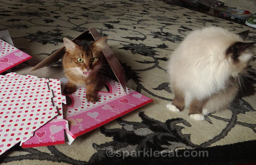 outtake of somali cat and ragdoll cat with Valentine house in pieces