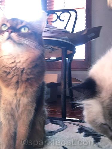 somali cat and ragdoll mix cat