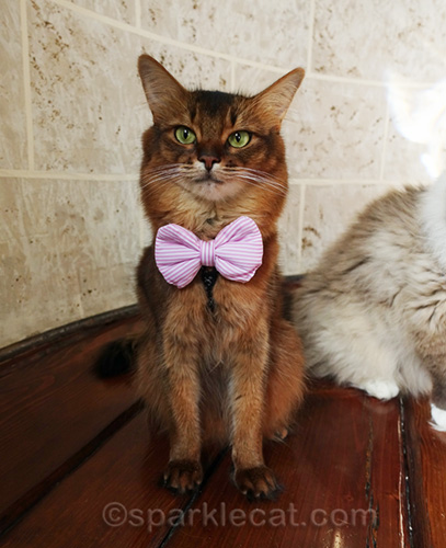 somali cat in small pink striped bow tie, with ragdoll cat in background