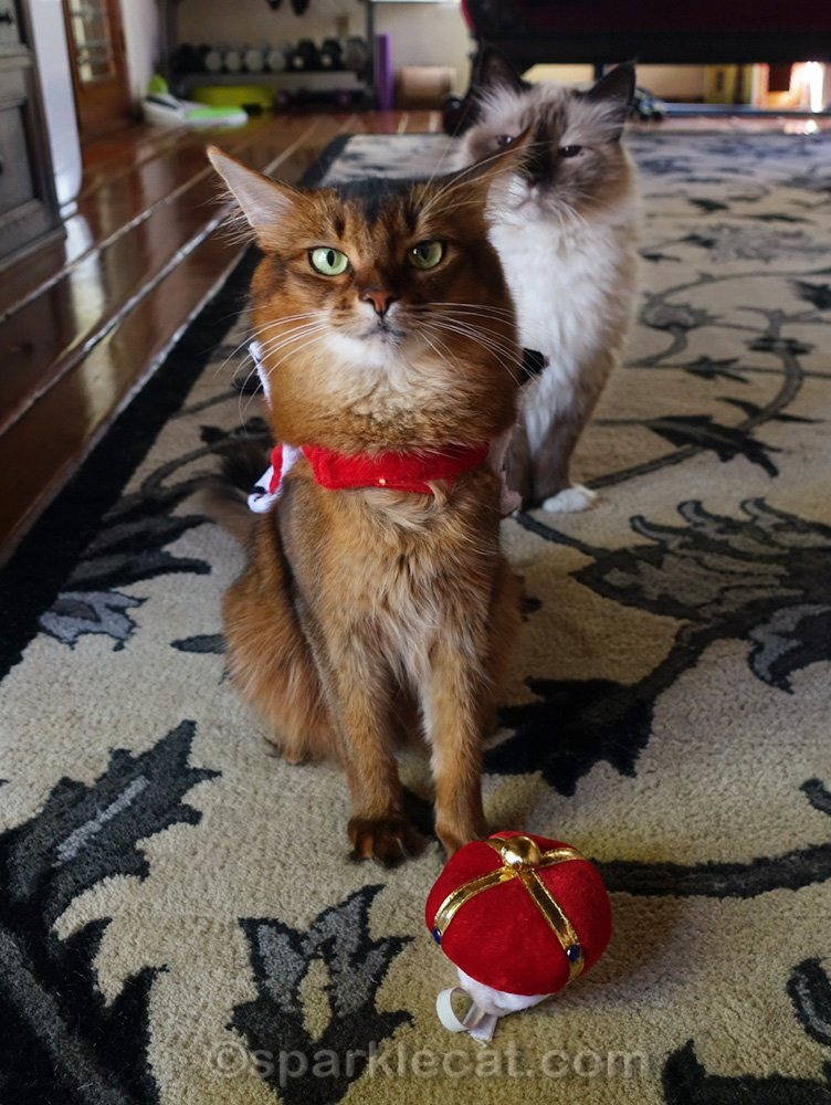 Somali cat with cape and crown, with ragdoll cat behind her