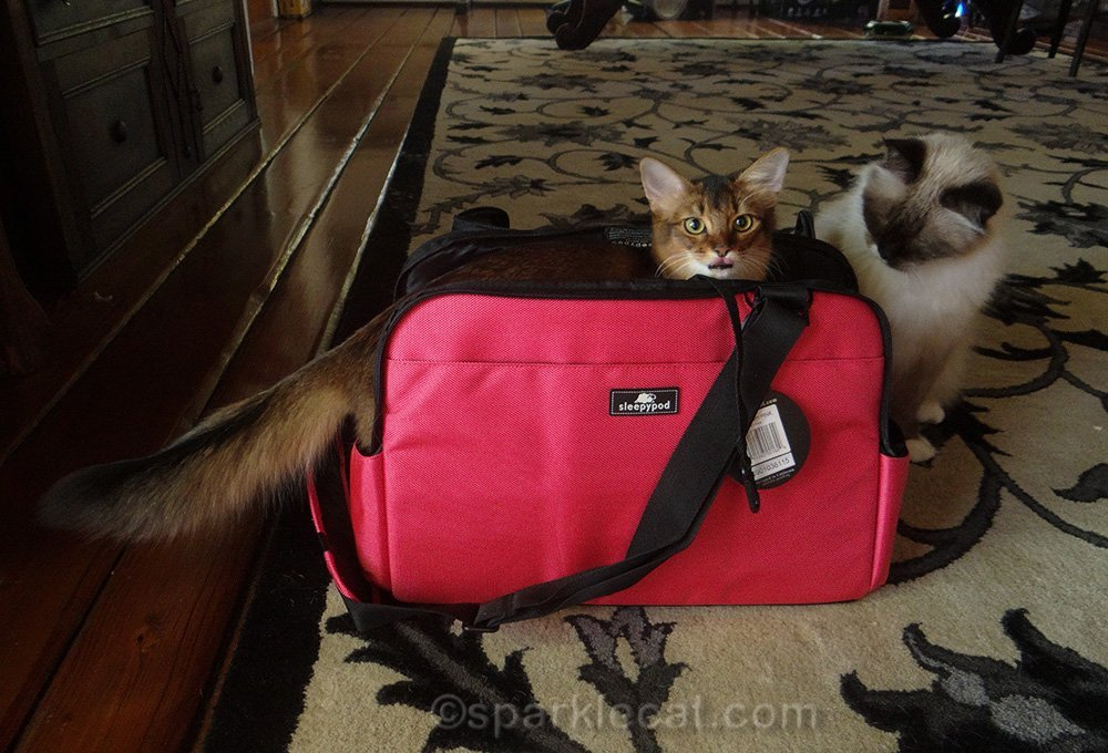 somali kitten in brand new sleepypod Atom with ragdoll cat looking on