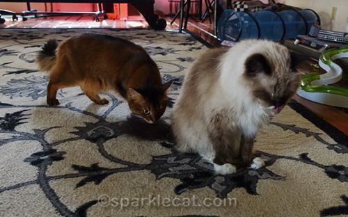 somali cat smelling freshly washed ragdoll cat