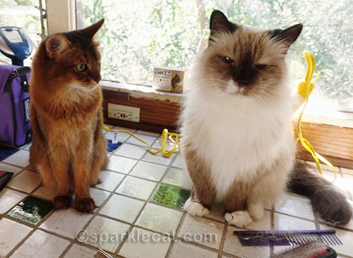 somali cat jealous of ragdoll mix cat