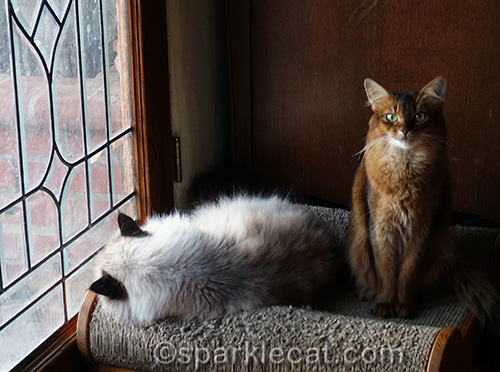 sleeping ragdoll cat and somali cat on scratch lounger