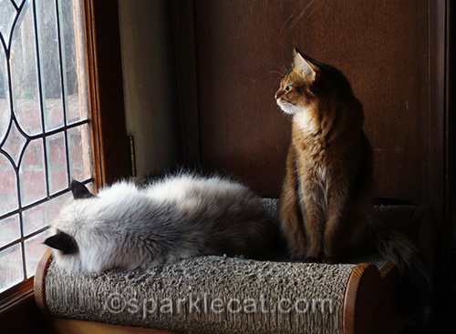 ragdoll cat and somali cat on scratch lounger looking out window