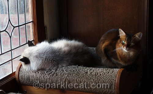 ragdoll cat and somali cat on scratch lounger together