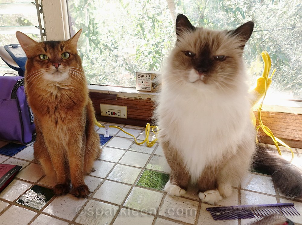 ragdoll cat after grooming, with somali cat