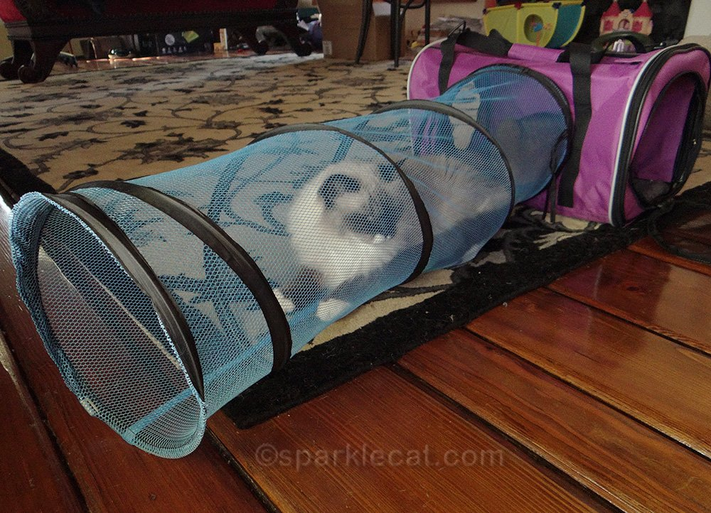 ragdoll mix cat in base camp tunnel