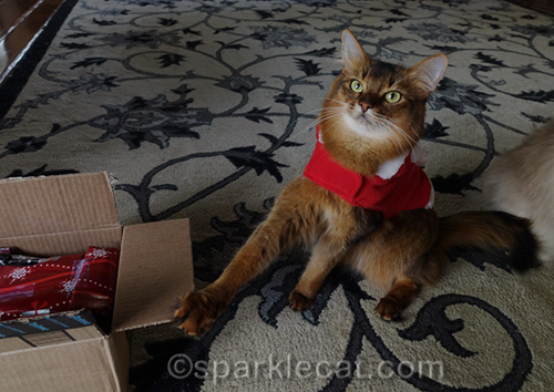 somali cat with paw on shipping box