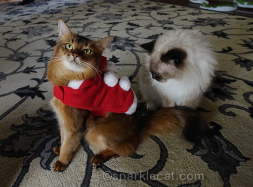 somali cat's santa costume being scrutinized by ragdoll cat