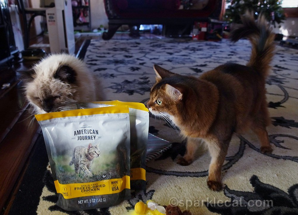 somali cat and rag doll mix with cat treats