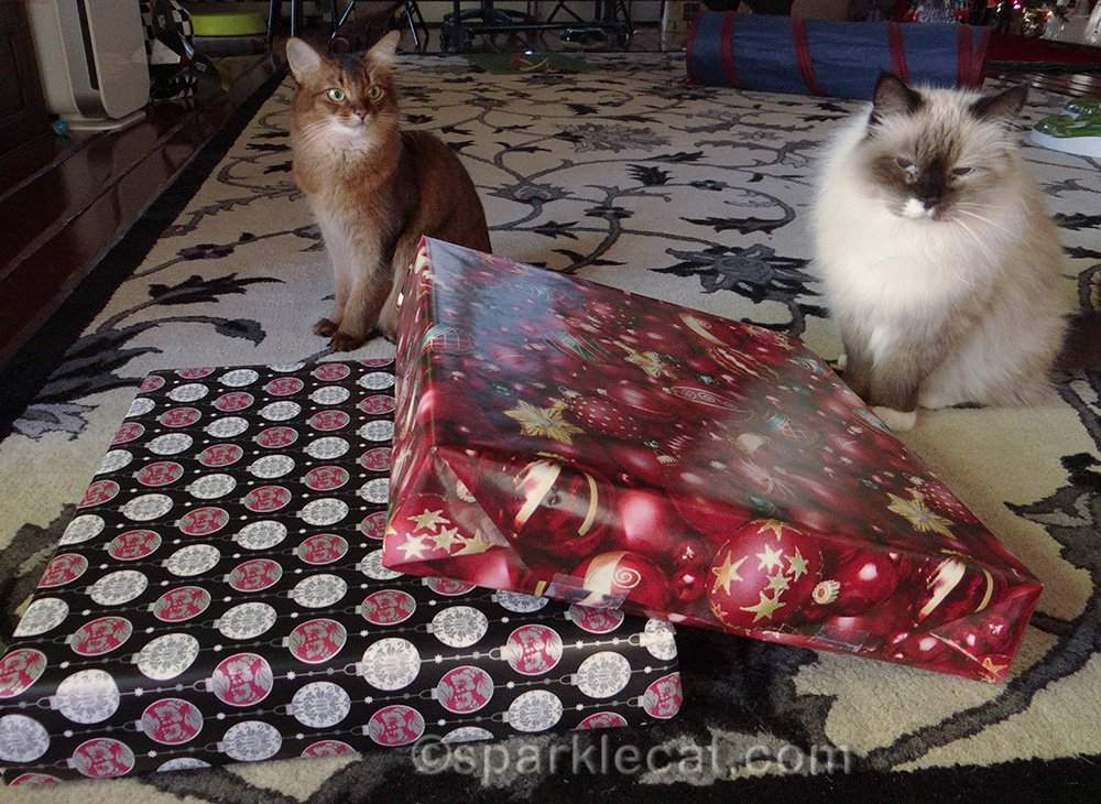 somali cat and ragdoll cat with presents