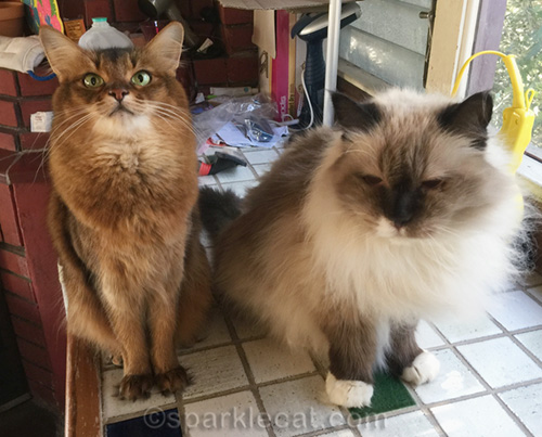 somali cat and ragdoll cat on counter in enclosed patio