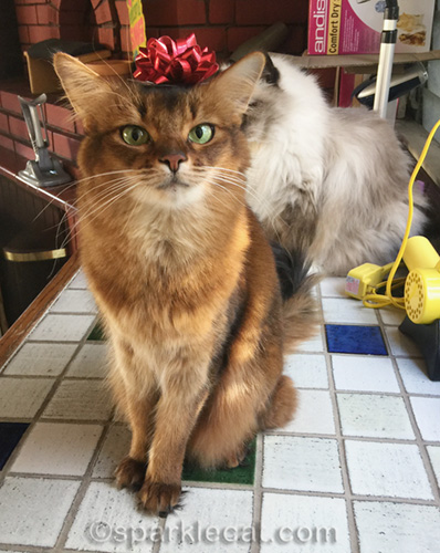 somali cat wearing a bow on her head