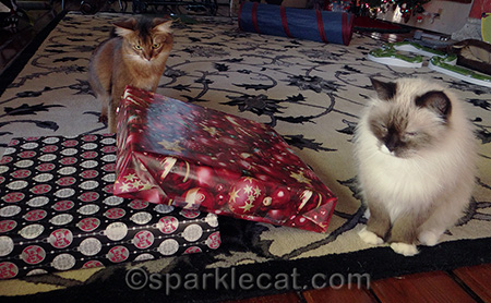 somali cat, ragdoll cat, christmas presents