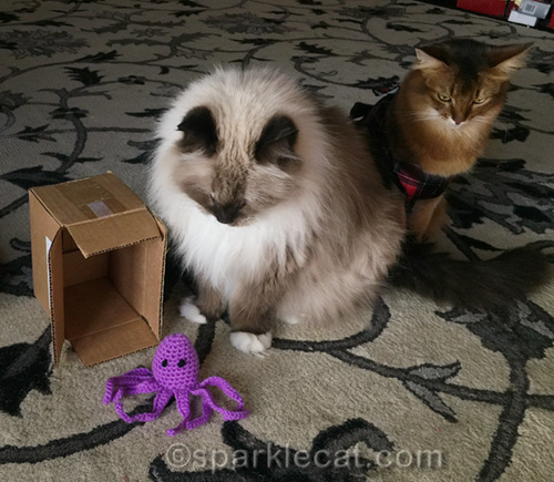 ragdoll cat disappointed in christmas gift