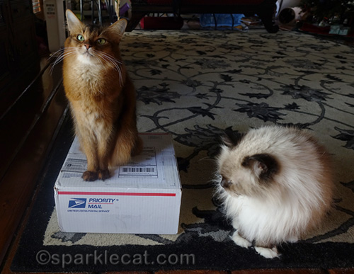 somali cat and ragdoll cat with Secret Paws gifts