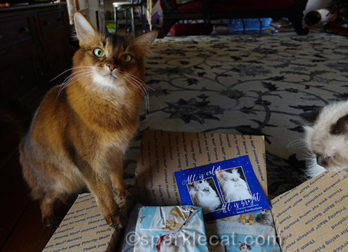 somali cat opening up Secret Paws gifts