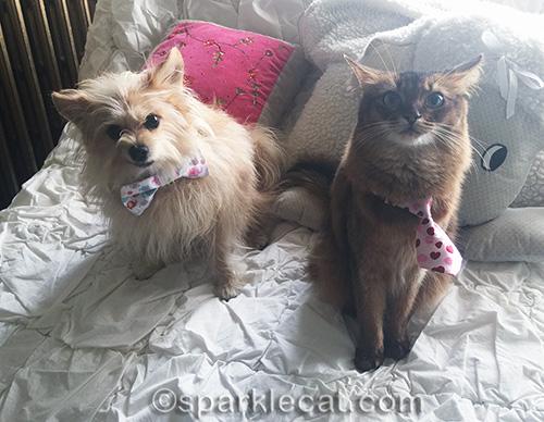 somali cat and small dog looking at camera