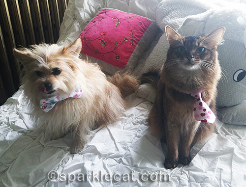somali cat posing with small dog