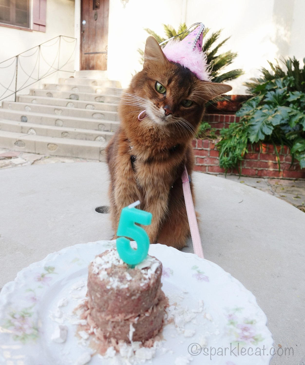 somali cat celebrating her fifth birthday
