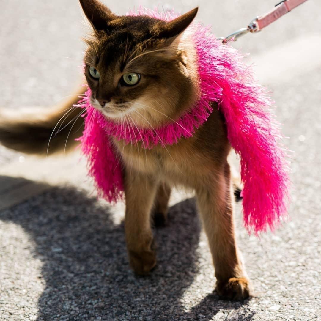 somali cat in fashion boa on a leash for movie