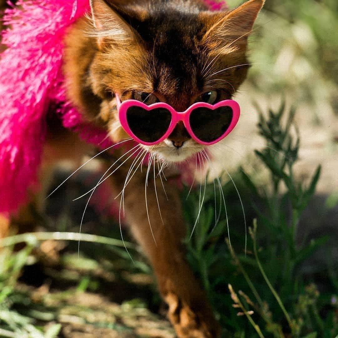 somali cat wearing a fashion boa and heart sunglasses
