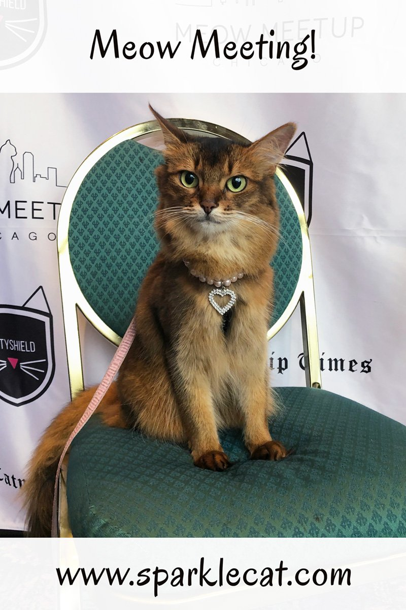 Summer is one of the Meet and Greet Cats featured at Meow MeetUp in Chicago.