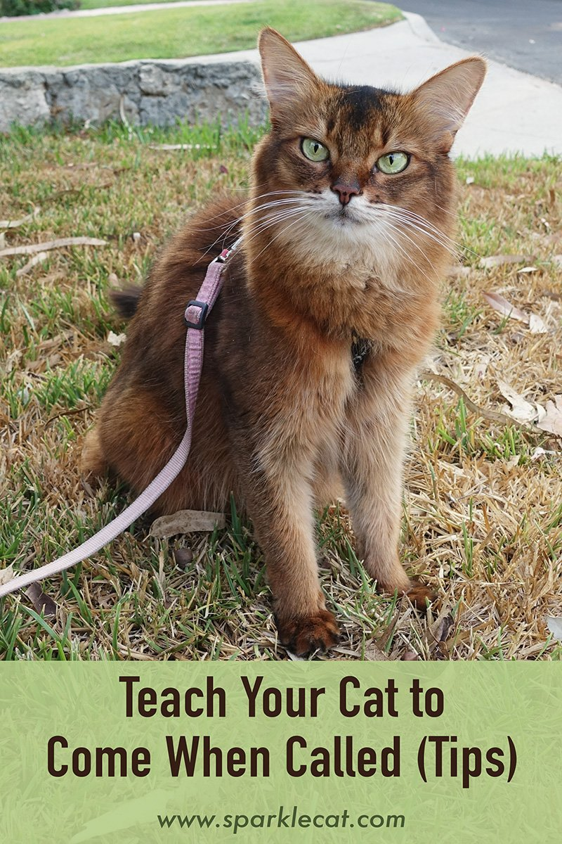 Tips for Teaching Your Kitten (or Adult Cat) to Come When Called