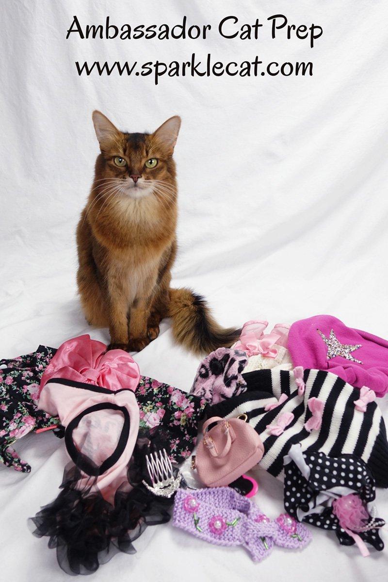 Ambassador Cat Show Prep