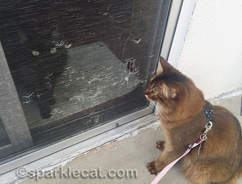 somali cat looks through screen at black cat