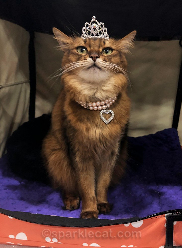 somali cat wearing pearl necklace with rhinestone heart and tiara