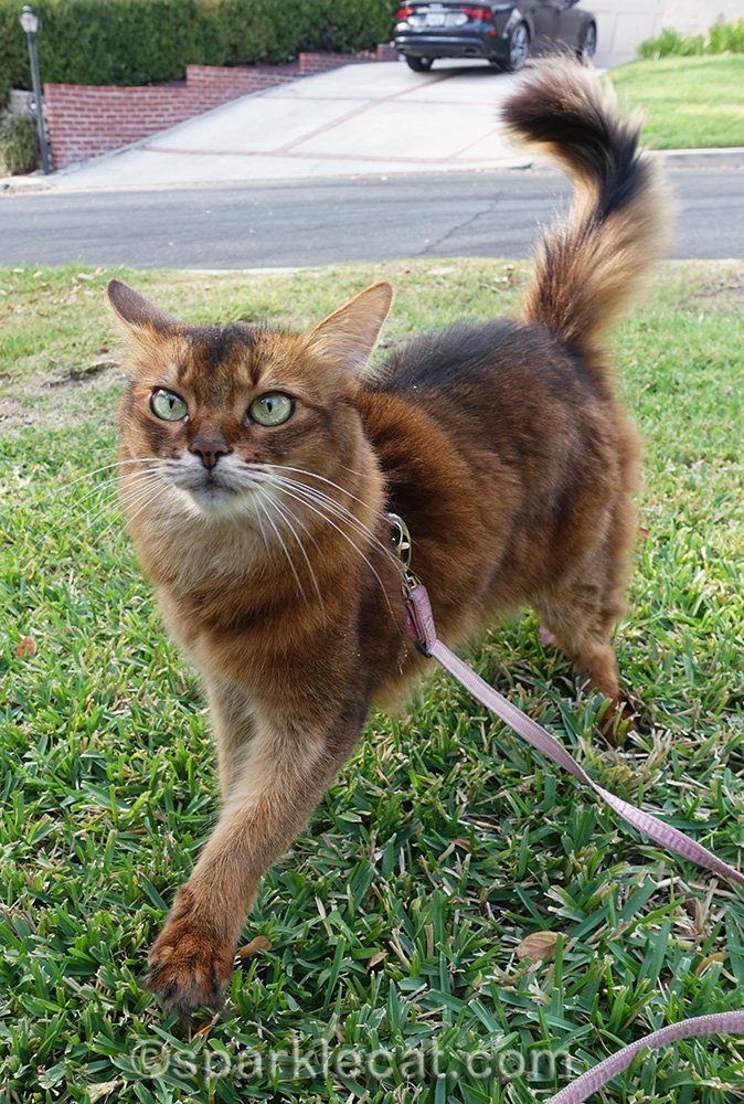 somali cat striding across front yard